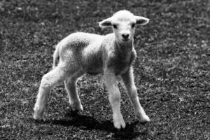 lam dyrenes energi dyrenes beskyttelse
